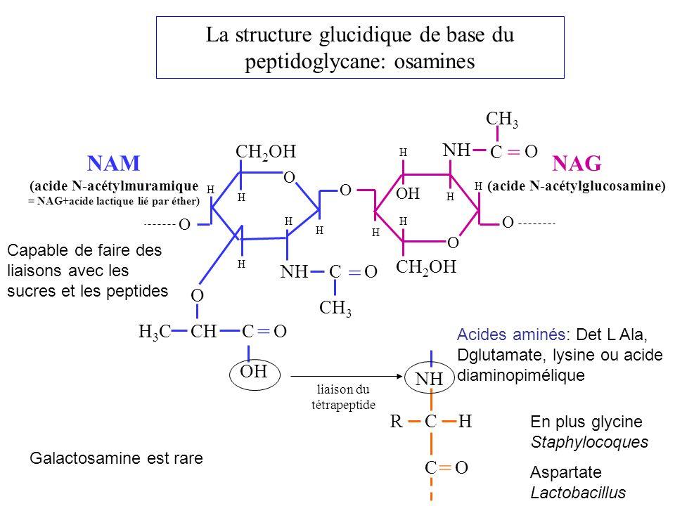 La structure glucidique de base du peptidoglycane: osamines