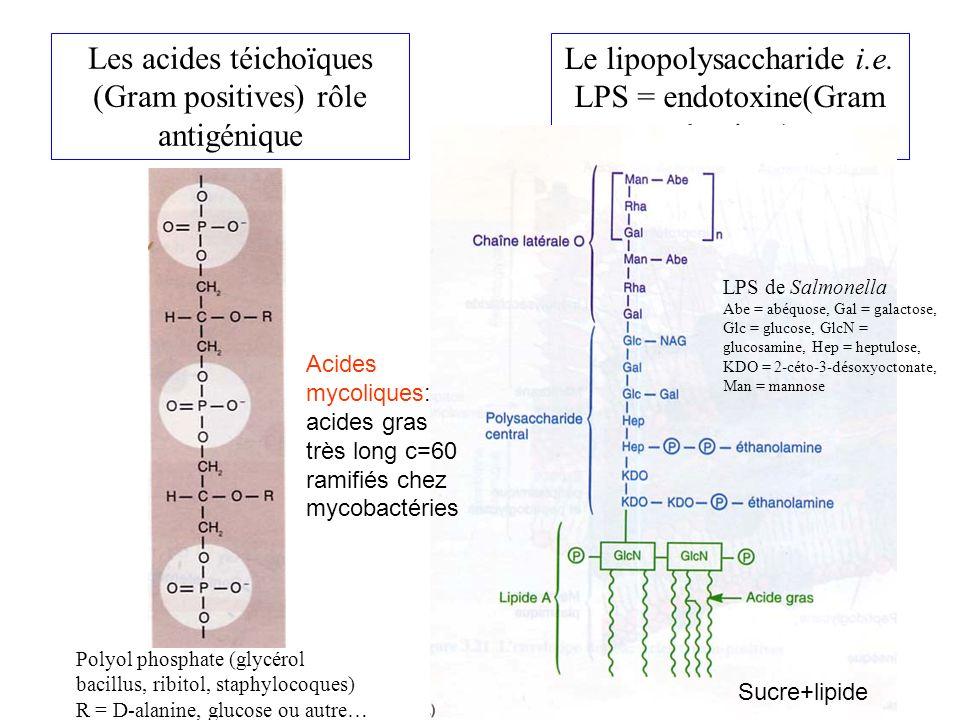 Les acides téichoïques (Gram positives) rôle antigénique