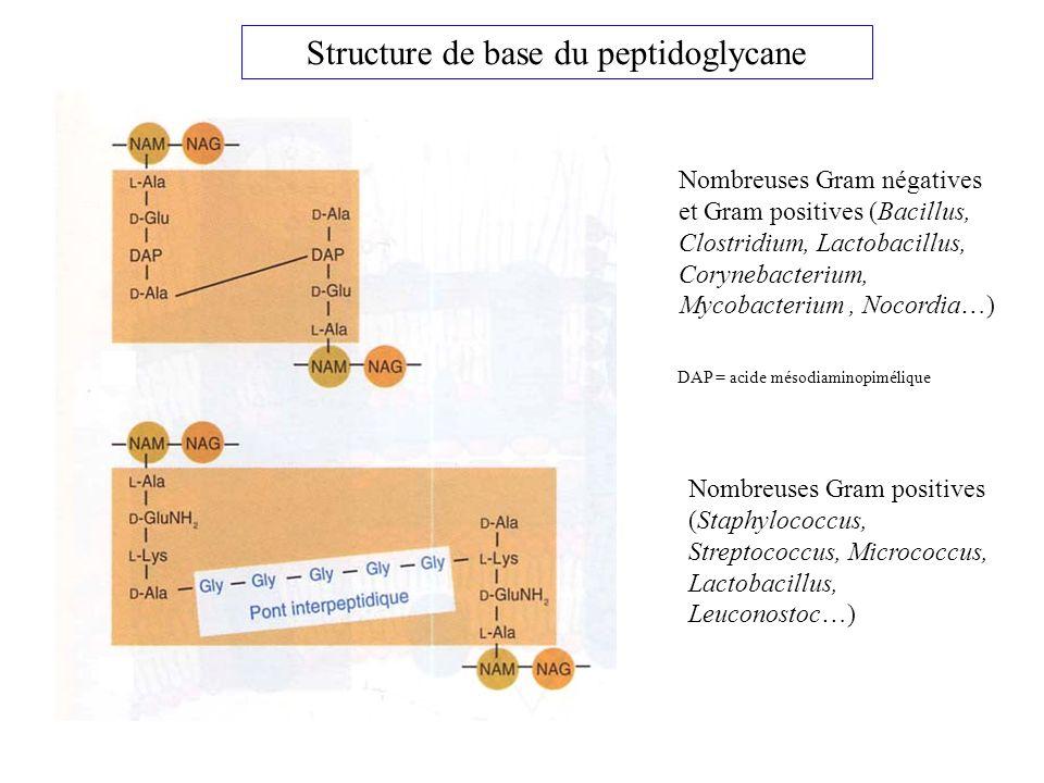 Structure de base du peptidoglycane
