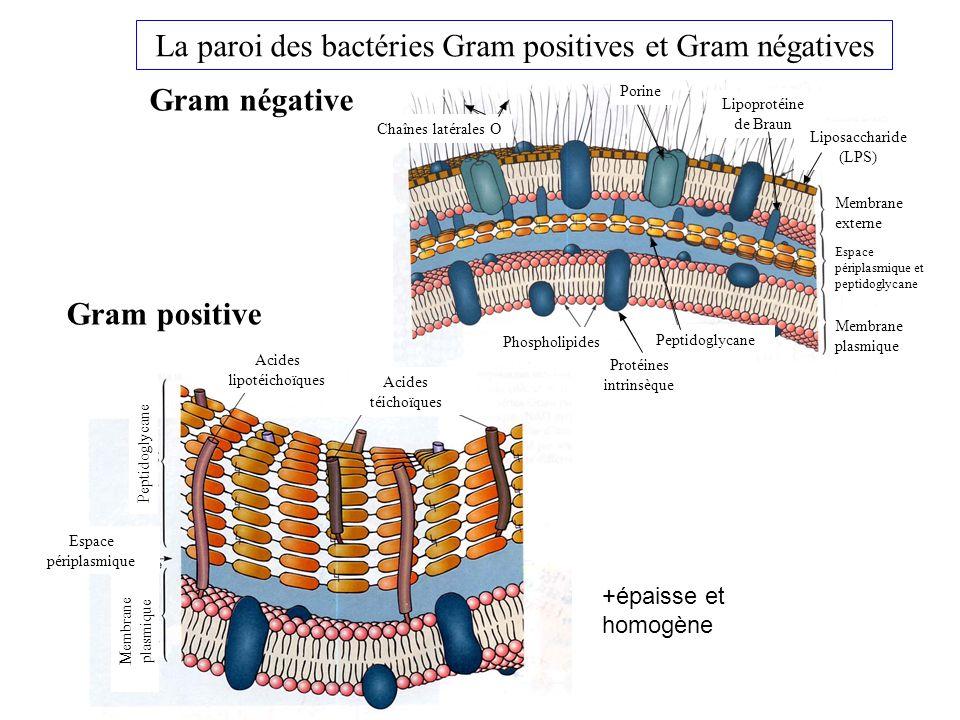 La paroi des bactéries Gram positives et Gram négatives