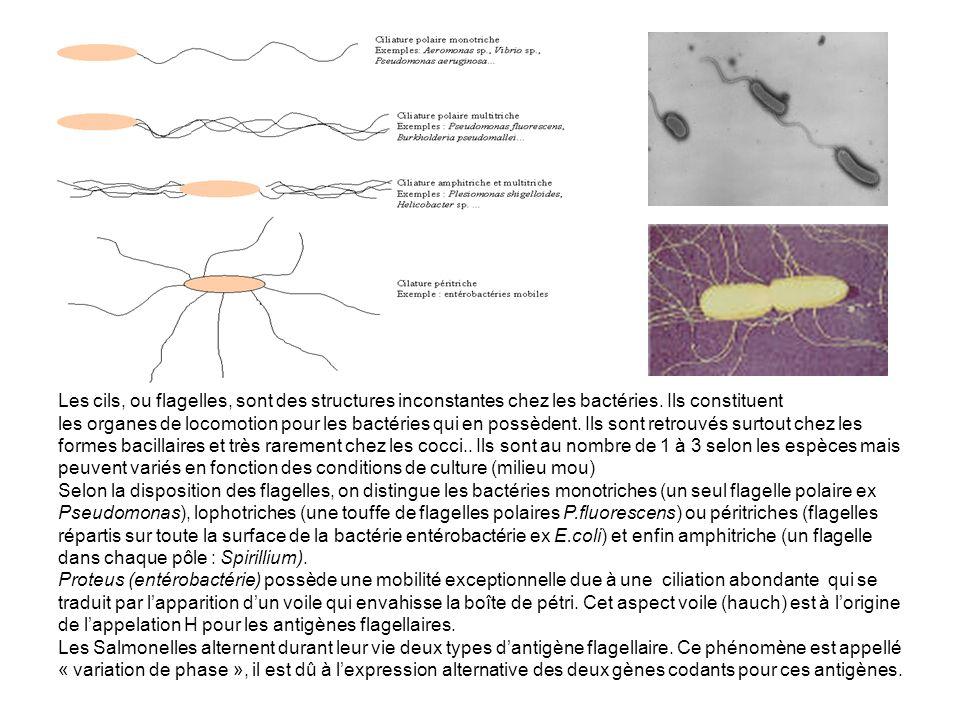 Les cils, ou flagelles, sont des structures inconstantes chez les bactéries. Ils constituent