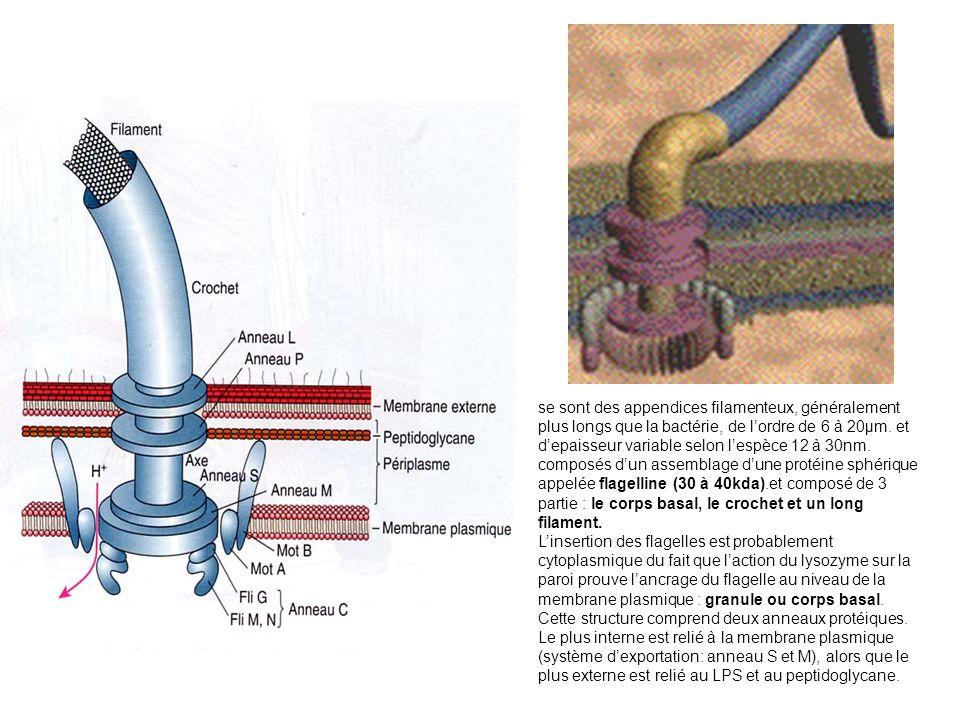 se sont des appendices filamenteux, généralement plus longs que la bactérie, de l'ordre de 6 à 20µm. et d'epaisseur variable selon l'espèce 12 à 30nm. composés d'un assemblage d'une protéine sphérique appelée flagelline (30 à 40kda).et composé de 3 partie : le corps basal, le crochet et un long filament.