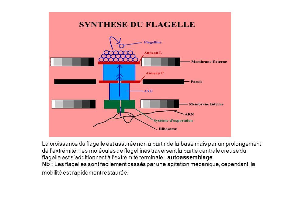 La croissance du flagelle est assurée non à partir de la base mais par un prolongement de l'extrémité : les molécules de flagellines traversent la partie centrale creuse du flagelle est s'additionnent à l'extrémité terminale : autoassemblage.