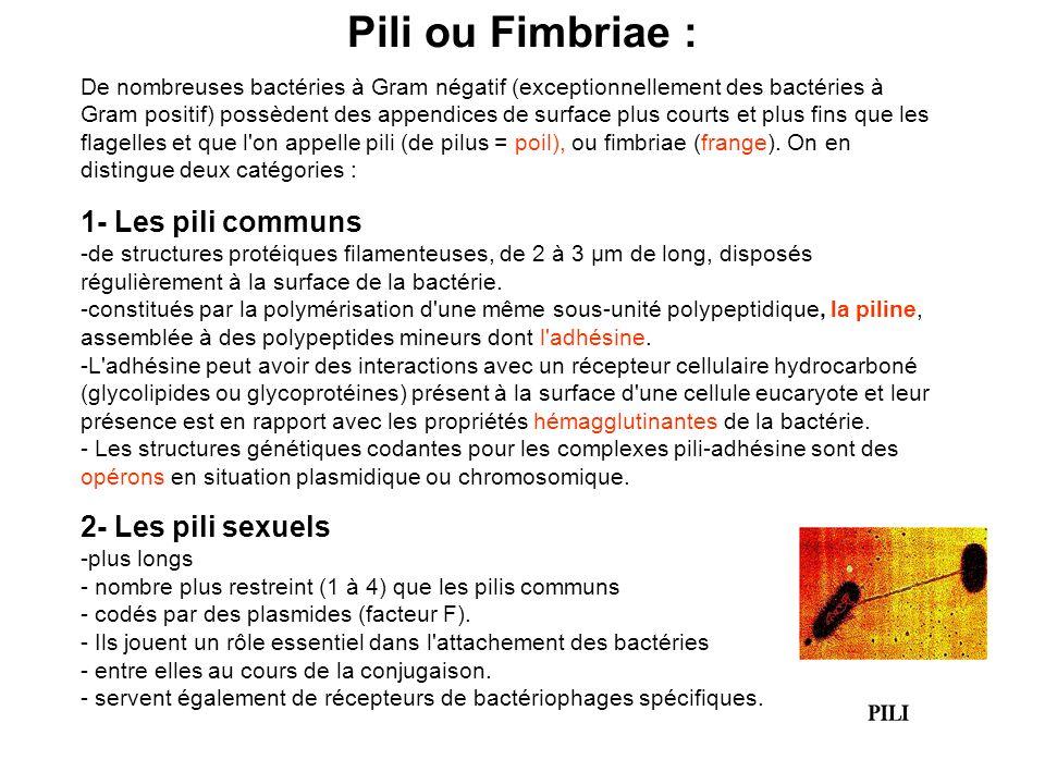 Pili ou Fimbriae : 1- Les pili communs 2- Les pili sexuels