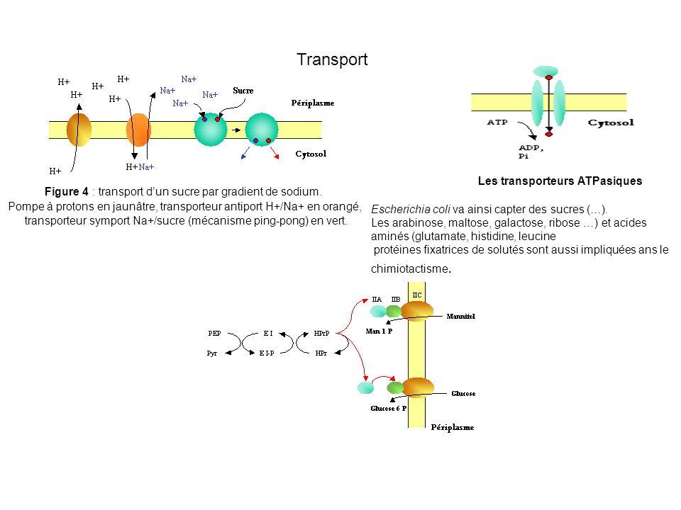 Transport Les transporteurs ATPasiques