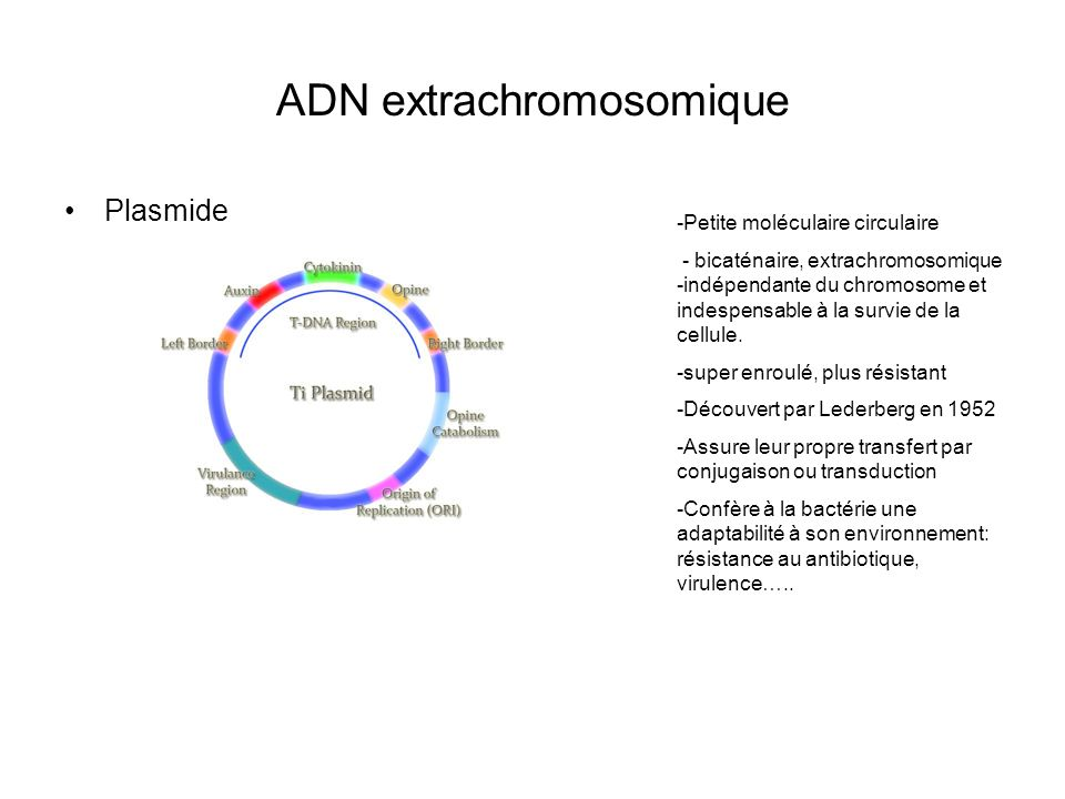 ADN extrachromosomique