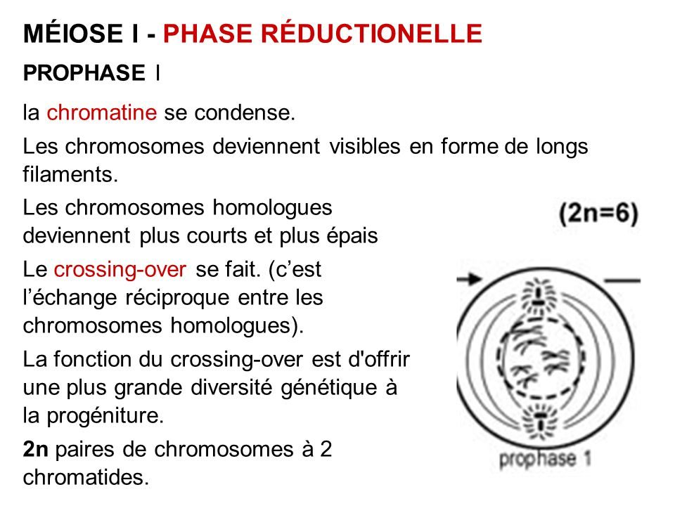 MÉIOSE I - PHASE RÉDUCTIONELLE