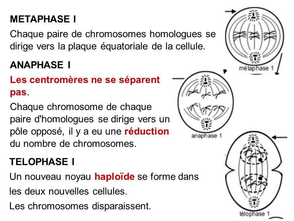 METAPHASE I Chaque paire de chromosomes homologues se dirige vers la plaque équatoriale de la cellule.