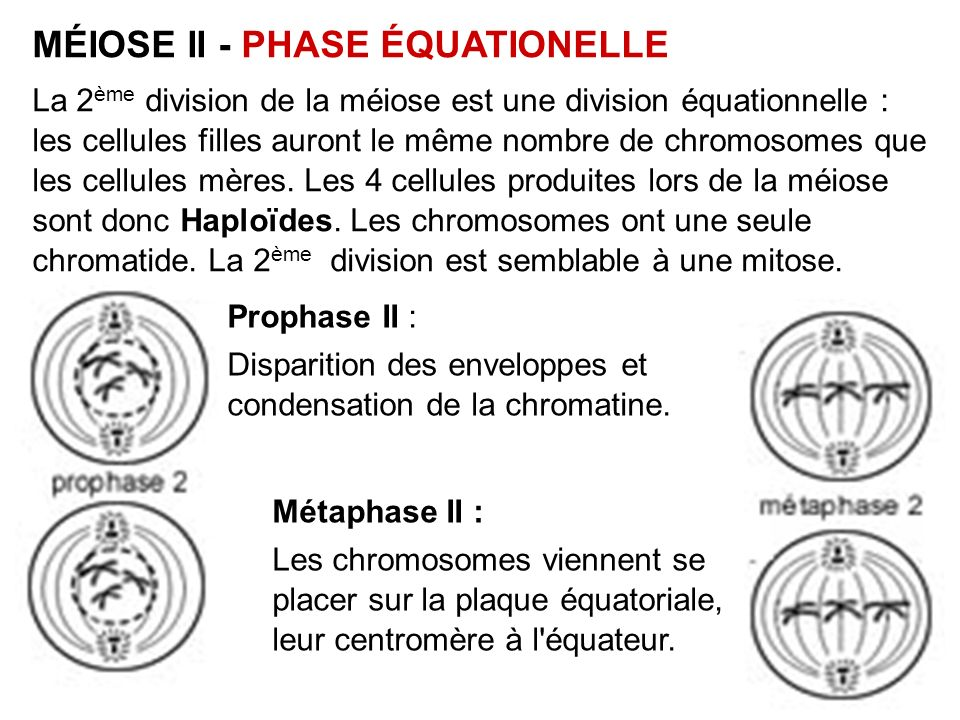MÉIOSE II - PHASE ÉQUATIONELLE