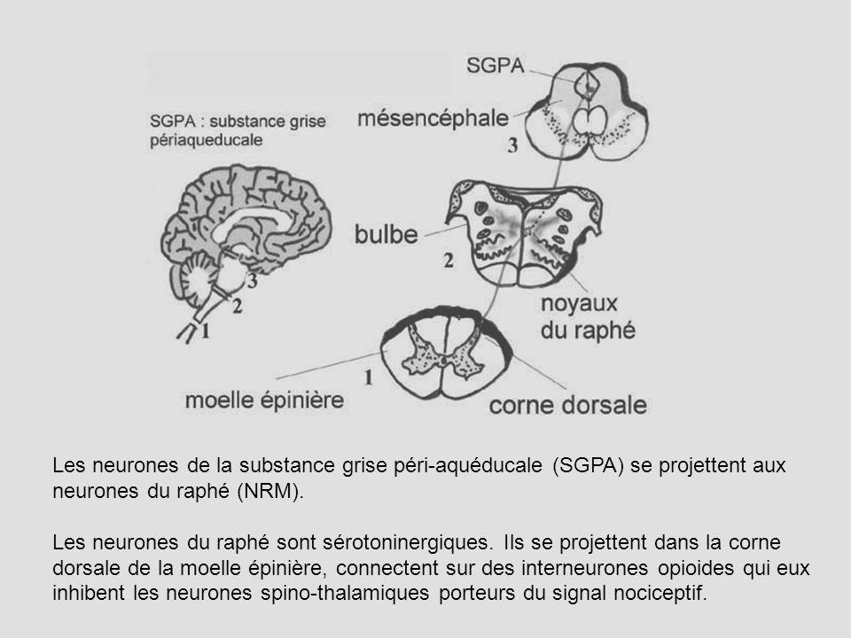 Les neurones de la substance grise péri-aquéducale (SGPA) se projettent aux neurones du raphé (NRM).