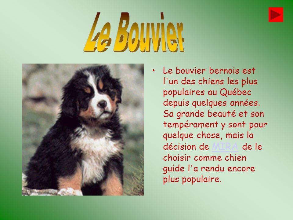 Le Bouvier