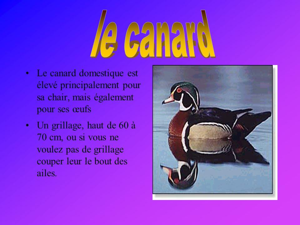 le canard Le canard domestique est élevé principalement pour sa chair, mais également pour ses œufs.