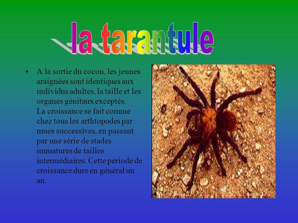la tarantule