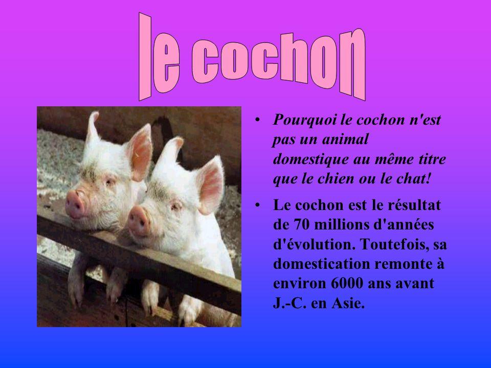 le cochon Pourquoi le cochon n est pas un animal domestique au même titre que le chien ou le chat!