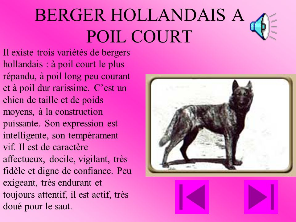 BERGER HOLLANDAIS A POIL COURT