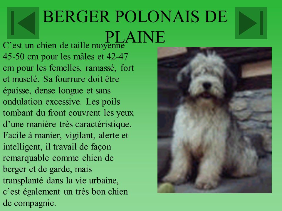 BERGER POLONAIS DE PLAINE