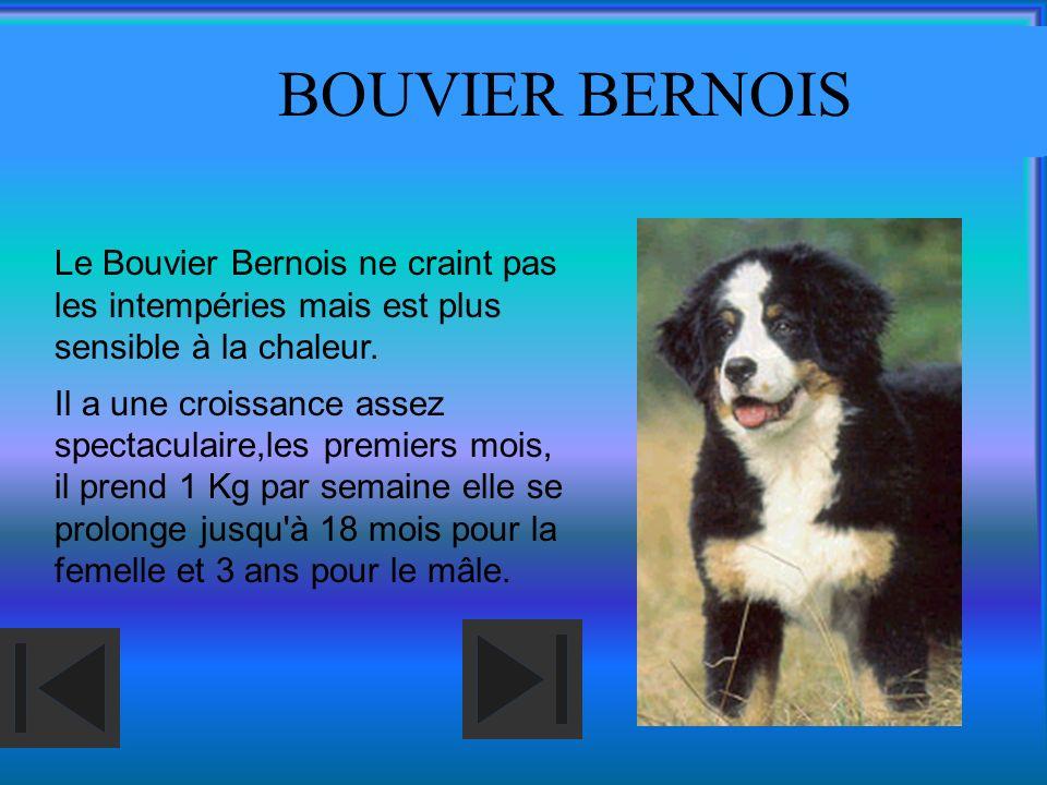 BOUVIER BERNOIS Le Bouvier Bernois ne craint pas les intempéries mais est plus sensible à la chaleur.