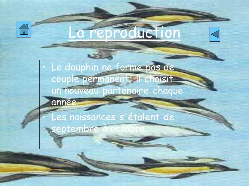 La reproductionLe dauphin ne forme pas de couple permanent; il choisit un nouveau partenaire chaque année.