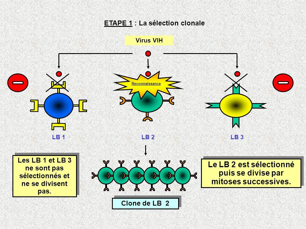 Le LB 2 est sélectionné puis se divise par mitoses successives.