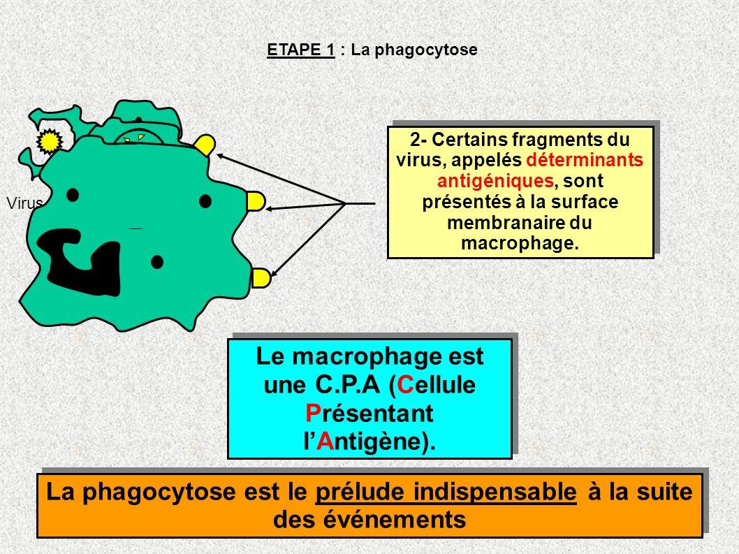 Le macrophage est une C.P.A (Cellule Présentant l'Antigène).