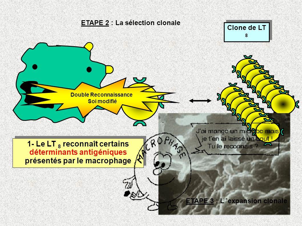 ETAPE 2 : La sélection clonale