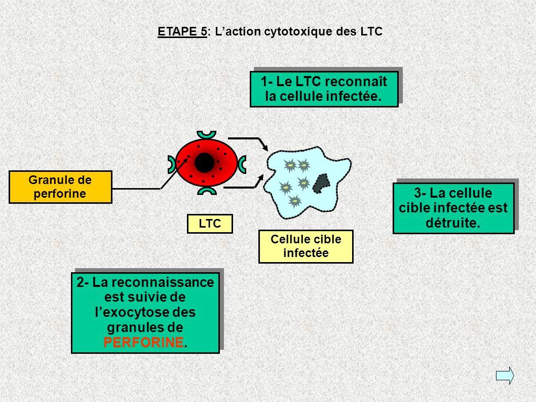 1- Le LTC reconnaît la cellule infectée.