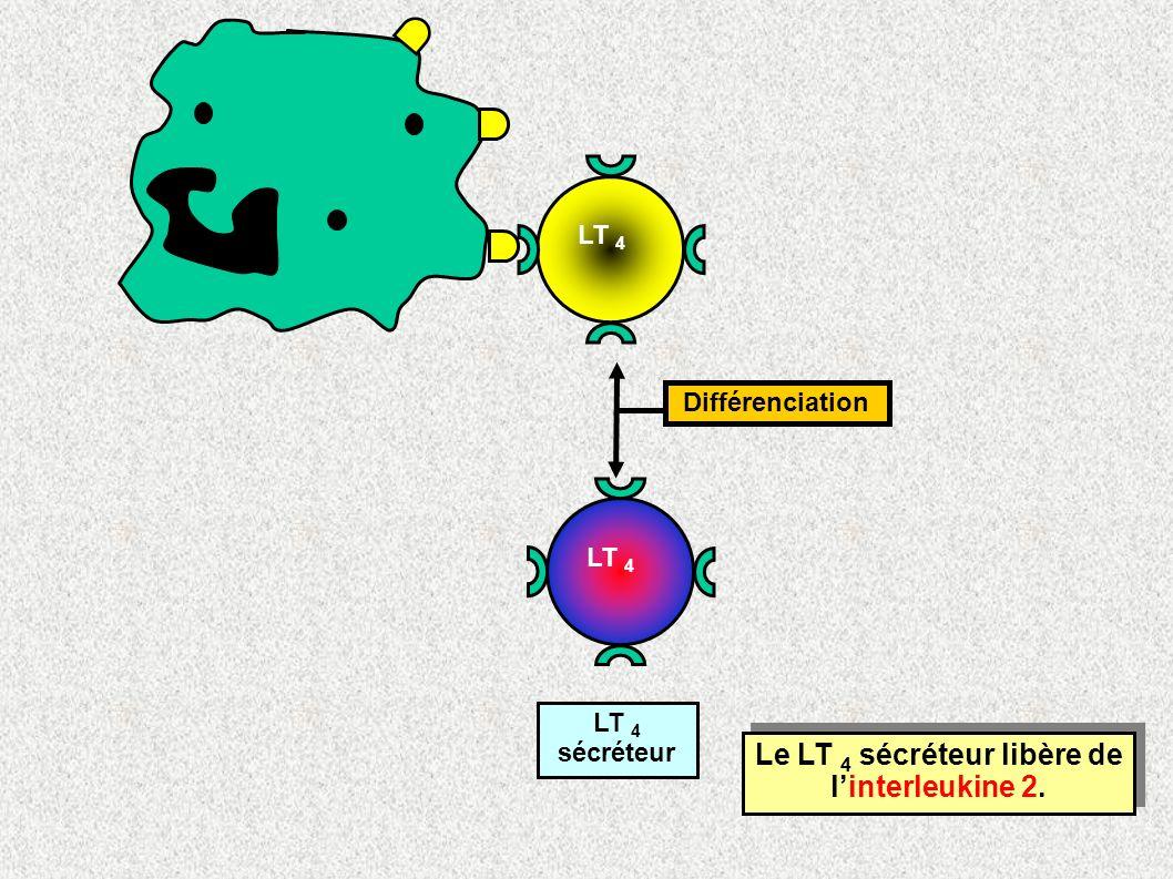 Le LT 4 sécréteur libère de l'interleukine 2.