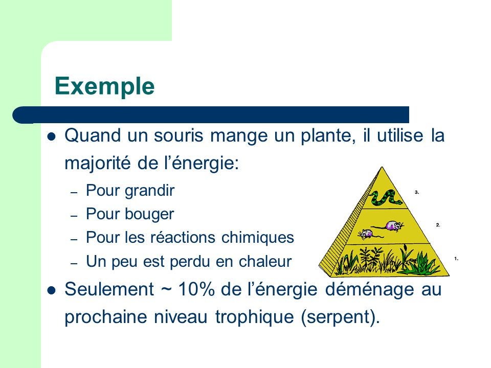 Exemple Quand un souris mange un plante, il utilise la majorité de l'énergie: Pour grandir. Pour bouger.