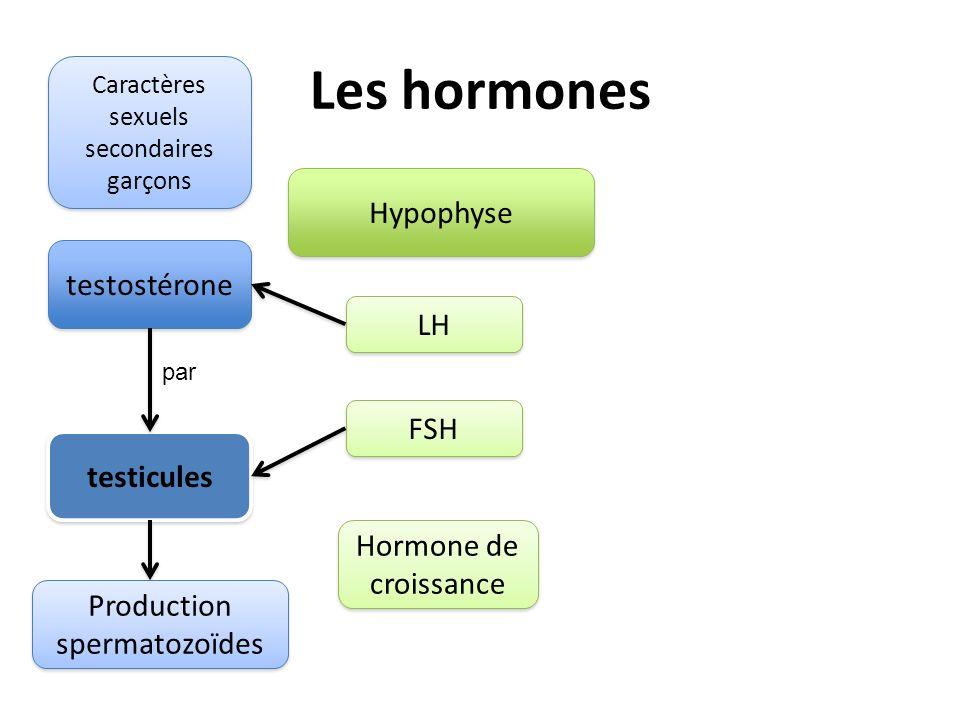 Les hormones Hypophyse testostérone LH FSH testicules