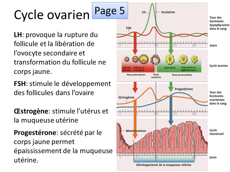 Cycle ovarien Page 5. LH: provoque la rupture du follicule et la libération de l'ovocyte secondaire et transformation du follicule ne corps jaune.