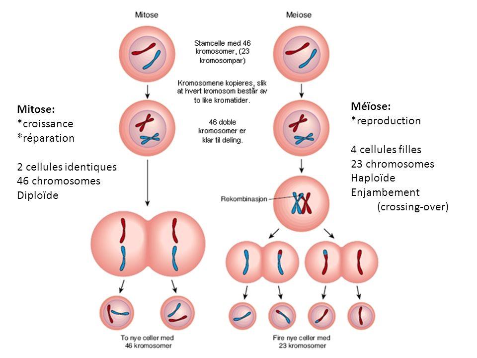Mitose: *croissance. *réparation. 2 cellules identiques. 46 chromosomes. Diploïde. Méïose: *reproduction.