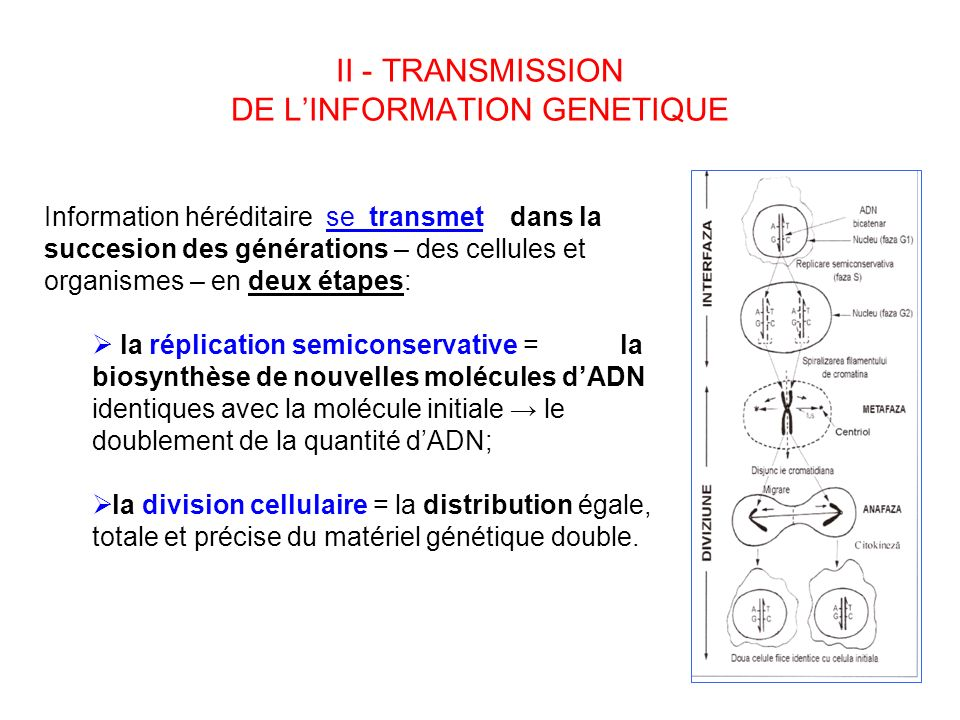II - TRANSMISSION DE L'INFORMATION GENETIQUE