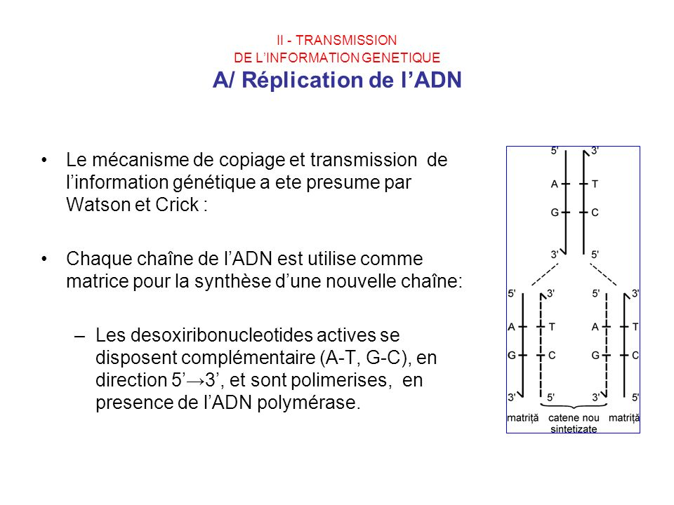 II - TRANSMISSION DE L'INFORMATION GENETIQUE A/ Réplication de l'ADN