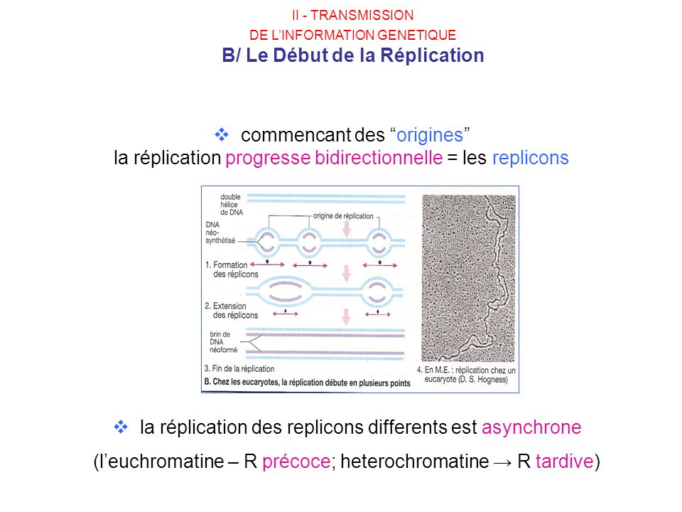 la réplication des replicons differents est asynchrone