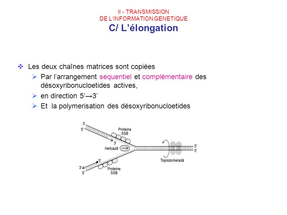 II - TRANSMISSION DE L'INFORMATION GENETIQUE C/ L'élongation