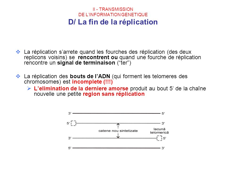 II - TRANSMISSION DE L'INFORMATION GENETIQUE D/ La fin de la réplication