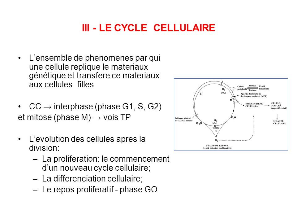 III - LE CYCLE CELLULAIRE