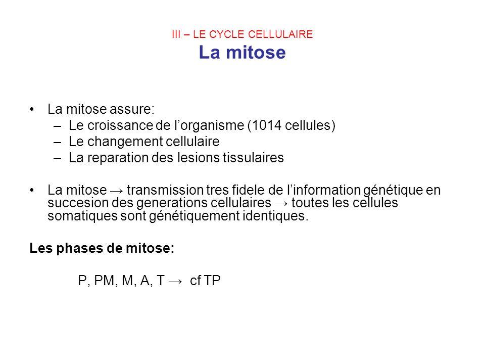 III – LE CYCLE CELLULAIRE La mitose