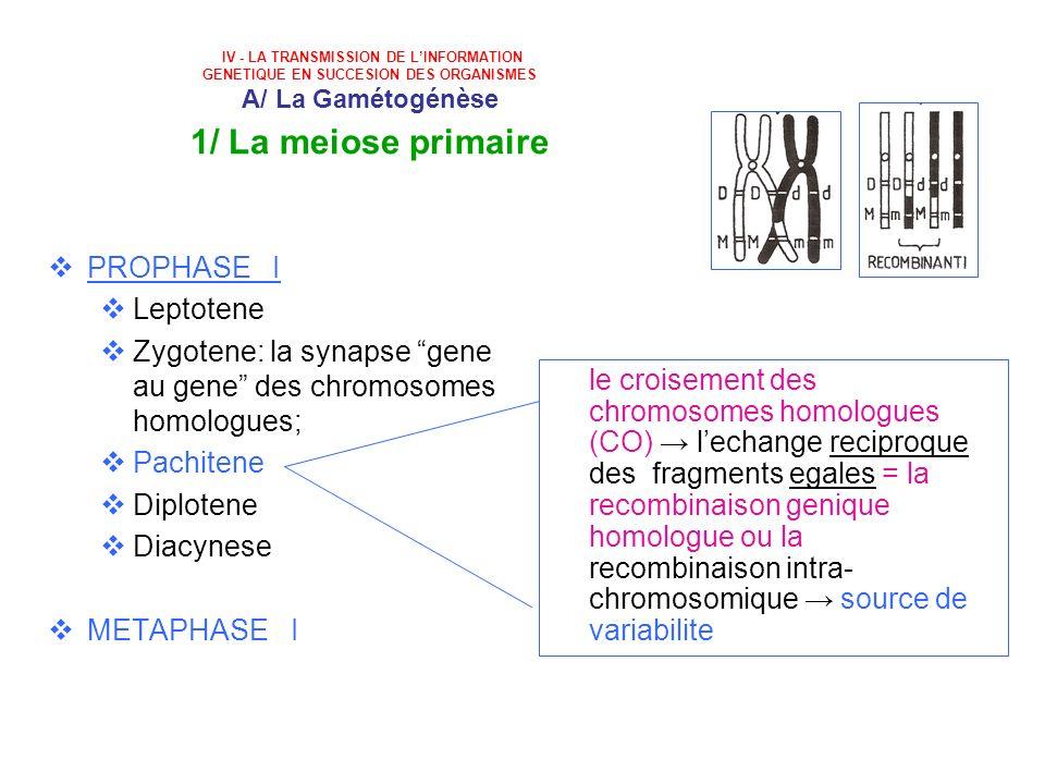 Zygotene: la synapse gene au gene des chromosomes homologues;