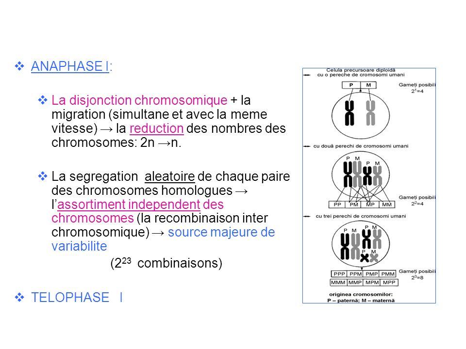 ANAPHASE I: La disjonction chromosomique + la migration (simultane et avec la meme vitesse) → la reduction des nombres des chromosomes: 2n →n.