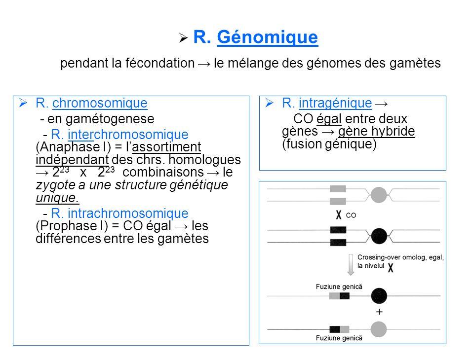 R. Génomique pendant la fécondation → le mélange des génomes des gamètes