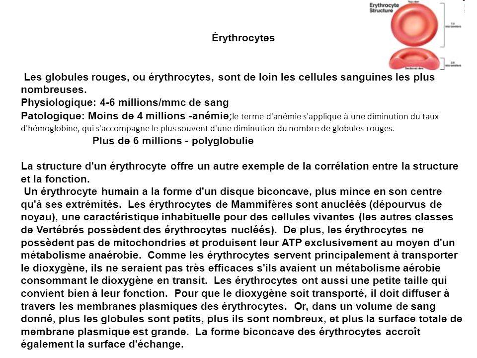 Érythrocytes Les globules rouges, ou érythrocytes, sont de loin les cellules sanguines les plus nombreuses.