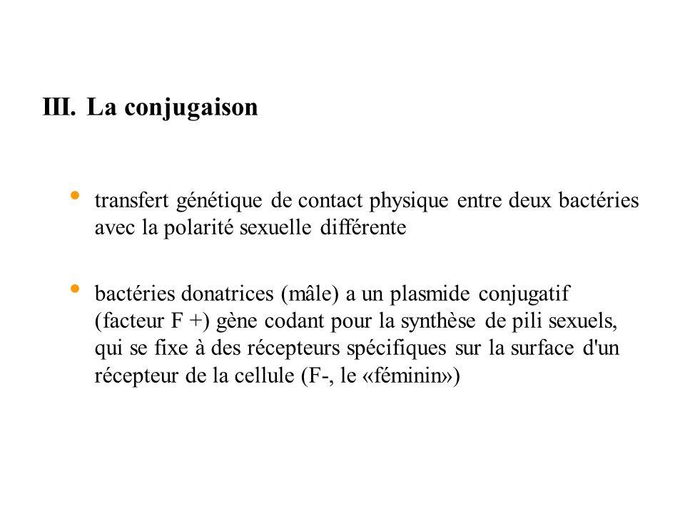 III. La conjugaison transfert génétique de contact physique entre deux bactéries avec la polarité sexuelle différente.