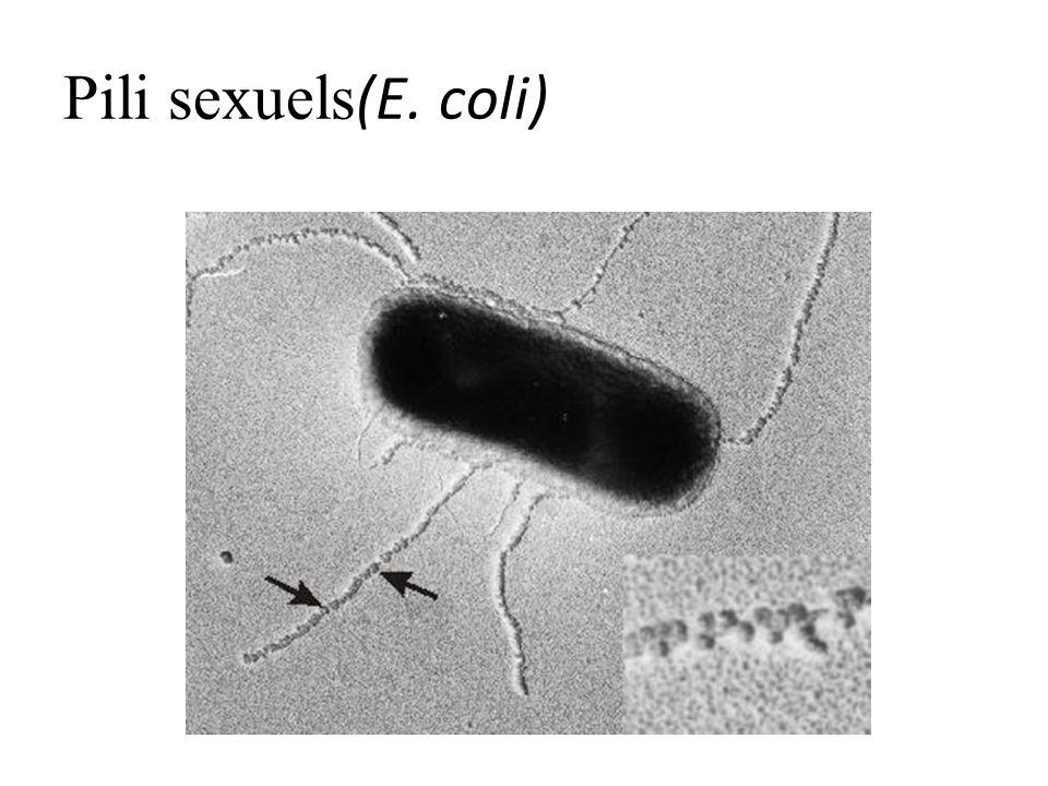 Pili sexuels(E. coli)