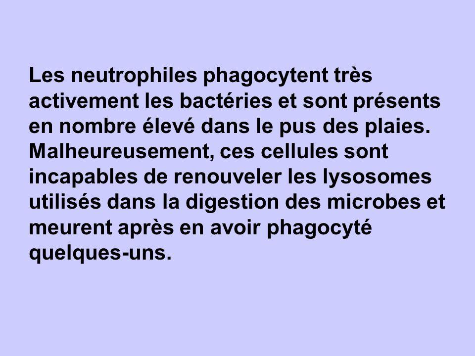Les neutrophiles phagocytent très activement les bactéries et sont présents en nombre élevé dans le pus des plaies.