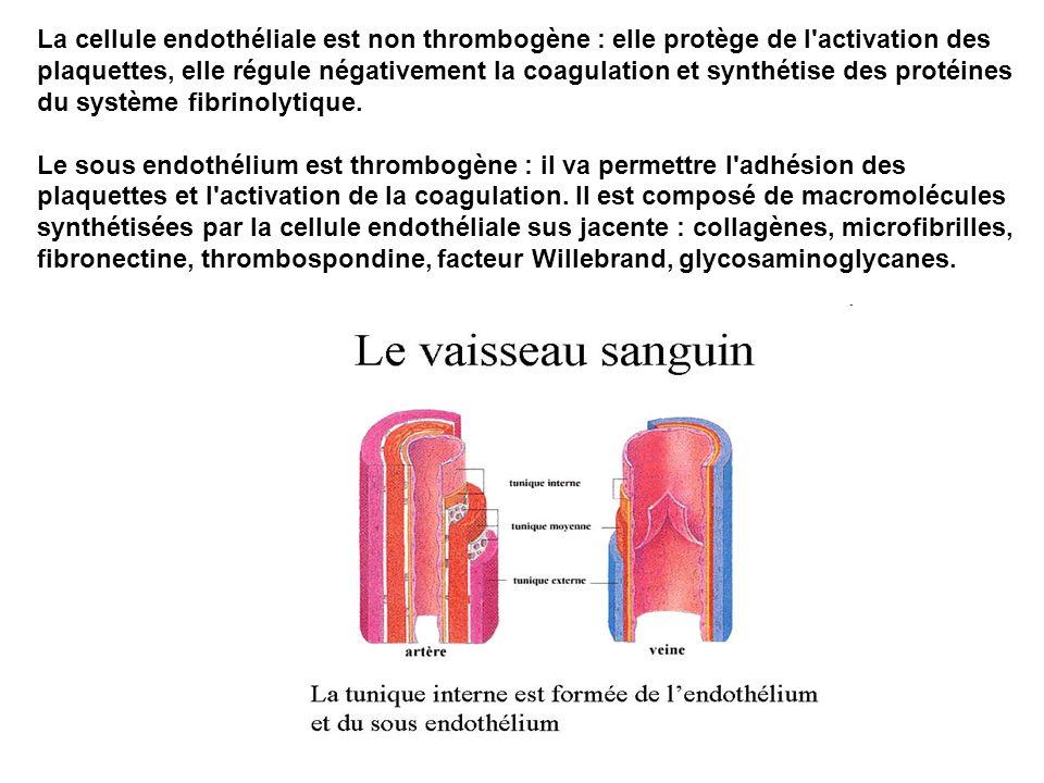 La cellule endothéliale est non thrombogène : elle protège de l activation des plaquettes, elle régule négativement la coagulation et synthétise des protéines du système fibrinolytique.