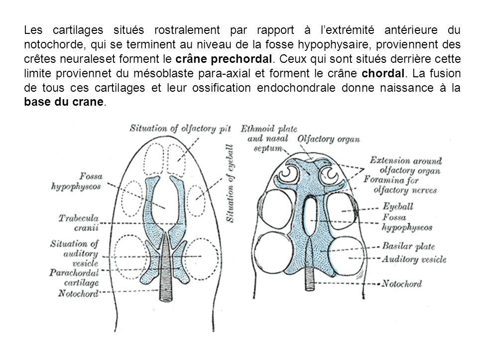 Les cartilages situés rostralement par rapport à l'extrémité antérieure du notochorde, qui se terminent au niveau de la fosse hypophysaire, proviennent des crêtes neuraleset forment le crâne prechordal.