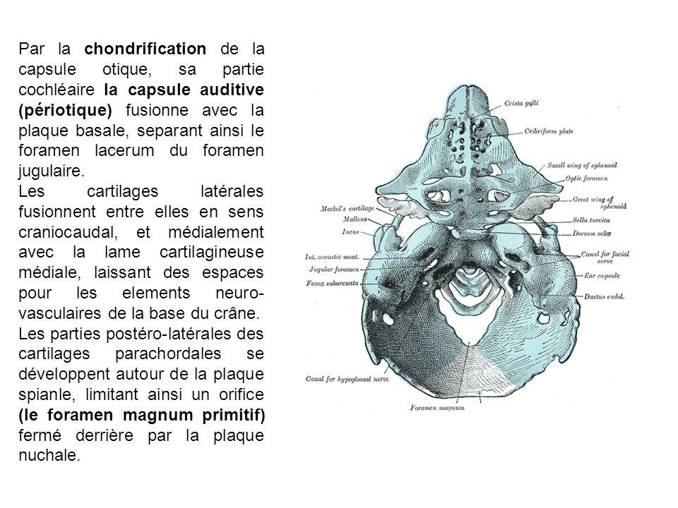 Par la chondrification de la capsule otique, sa partie cochléaire la capsule auditive (périotique) fusionne avec la plaque basale, separant ainsi le foramen lacerum du foramen jugulaire.