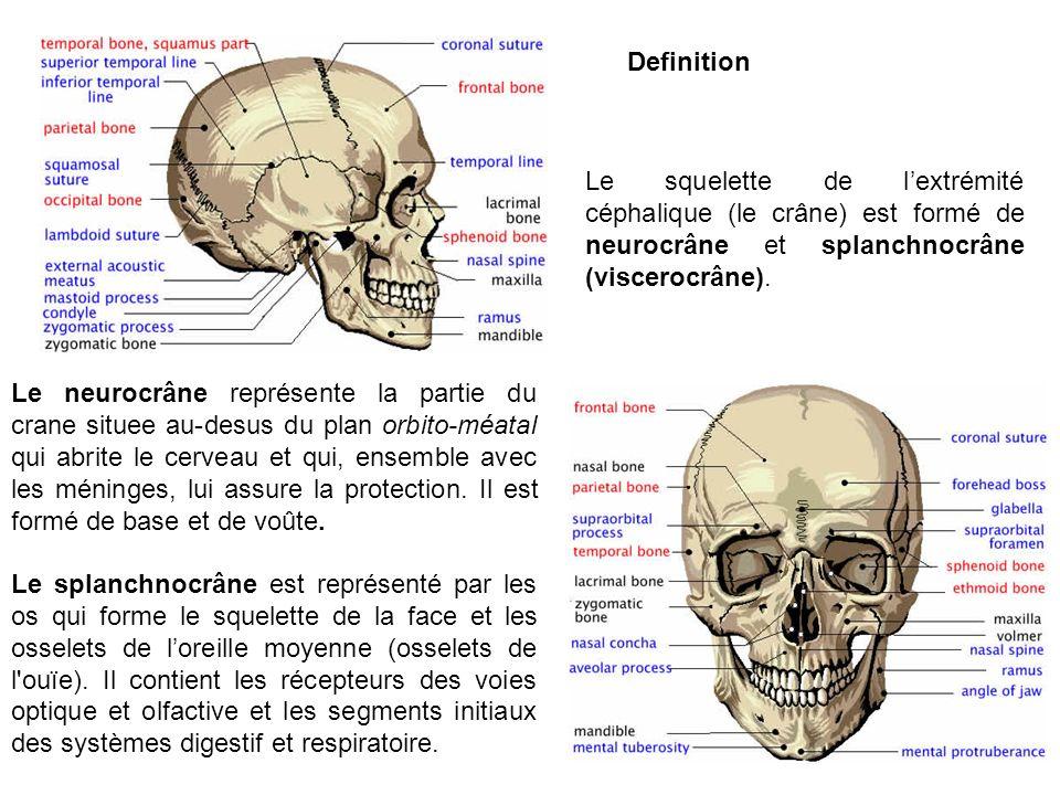 Definition Le squelette de l'extrémité céphalique (le crâne) est formé de neurocrâne et splanchnocrâne (viscerocrâne).
