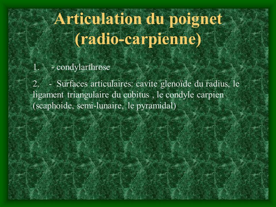 Articulation du poignet (radio-carpienne)